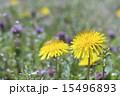 タンポポの黄色い花 15496893