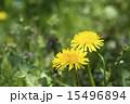 タンポポの黄色い花 15496894