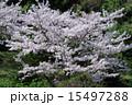 樹木 海南市 花の写真 15497288