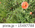 宿根草 花 ポピーの写真 15497788