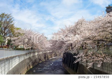 東中野 神田川沿いの桜 15497850