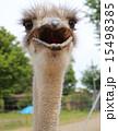 ダチョウ科 脊索動物 駝鳥の写真 15498385