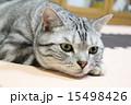 室内 アメリカンショートヘア 動物の写真 15498426