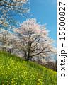 池田町 桜仙郷 花の写真 15500827