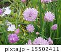 チャイブ エゾネギ 西洋浅葱の写真 15502411