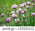 チャイブ エゾネギ 西洋浅葱の写真 15502412