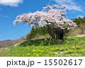 田村市 小沢の桜 一本桜の写真 15502617