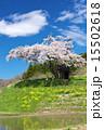 田村市 小沢の桜 一本桜の写真 15502618