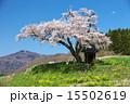 田村市 小沢の桜 一本桜の写真 15502619