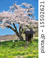 田村市 小沢の桜 一本桜の写真 15502621