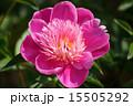 シャクヤク ボタン科 花の写真 15505292