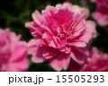 シャクヤク ボタン科 花の写真 15505293
