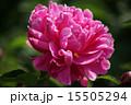 シャクヤク ボタン科 花の写真 15505294