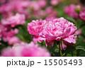 シャクヤク ボタン科 花の写真 15505493