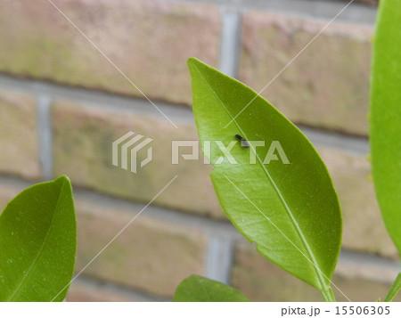 アゲハ蝶-生まれたての幼虫 15506305