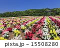 テーマパーク 東京ドイツ村 金魚草の写真 15508280