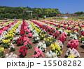 東京ドイツ村 テーマパーク 金魚草の写真 15508282