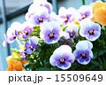 三色菫 植物 花の写真 15509649