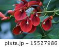 海紅豆 アメリカデイゴ 花の写真 15527986