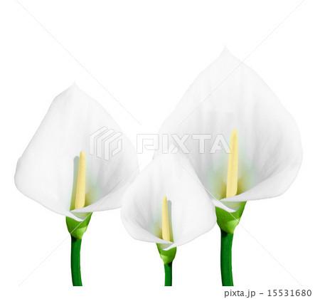 calla lily isolatedの写真素材 [15531680] - PIXTA