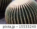 とげ サボテン 植物の写真 15533240