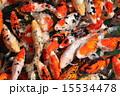 鮮やかな鯉の群 15534478