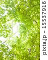 緑 植物 葉の写真 15537916