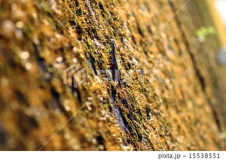 トカゲ(蜥蜴、石竜子)壁を登る、とかげ 15538551