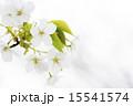 オオシマザクラの花のアップ 15541574