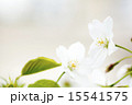 オオシマザクラの花のアップ 15541575