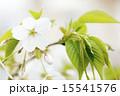 オオシマザクラ 花 アップの写真 15541576