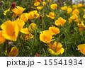花菱草 15541934