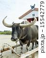 西表島と由布島を渡る水牛 15542779