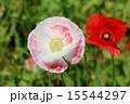 シャーレーポピー ケシ科 虞美人草の写真 15544297