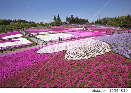 一面に咲く芝桜(埼玉 羊山公園) 15544350