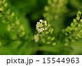 アブラナ科 ペンペングサ 春の七草の写真 15544963