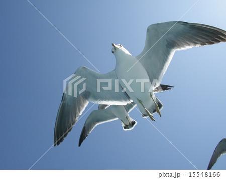 写真素材: 空飛ぶカモメ 至近距離