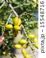 Fresh fruit of Argan tree on the branch 15548716