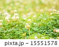 クローバー かわいい 春の写真 15551578