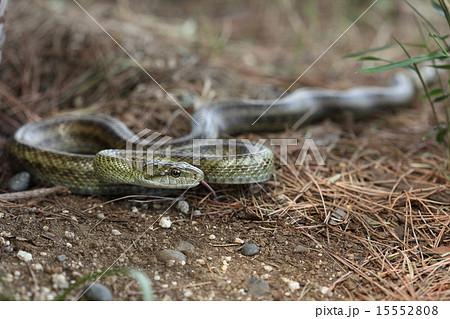 生き物 爬虫類 アオダイショウ、沖縄を除き日本最大、無毒でおとなしい蛇。見つけてもそっとしておいてネ 15552808