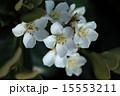 シャリンバイ 車輪梅 植物の写真 15553211