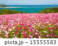 能古島の秋 コスモスの絨毯 15555583