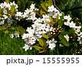 シャリンバイ 15555955