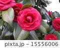 椿 八重 植物の写真 15556006