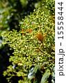 クスノキ科 椨の木 犬楠の写真 15558444