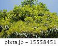 クスノキ科 椨の木 犬楠の写真 15558451