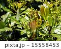 椨の木 クスノキ科 犬楠の写真 15558453