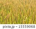 麦 麦畑 穀物の写真 15559068