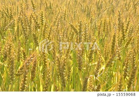 麦畑 15559068