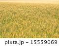 麦 麦畑 穀物の写真 15559069